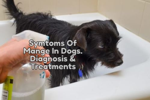 Symptoms Of Menge In Dogs