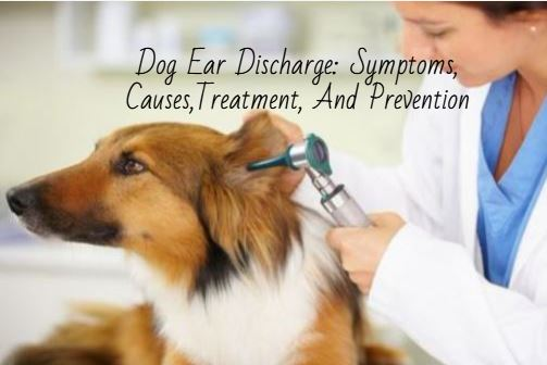 Dog Ear Discharge
