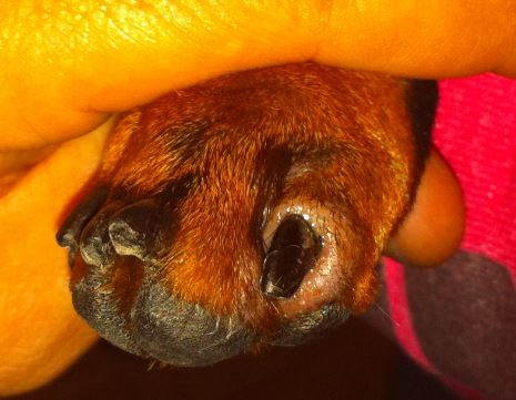 Dog's nail Disease Causing change in color