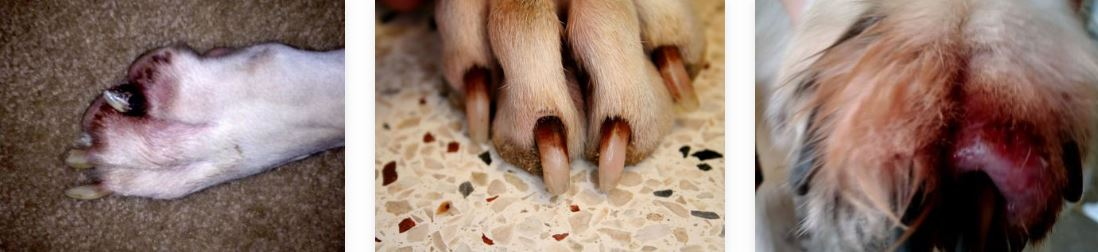 Home Cure For Dog Nail Bed Infection