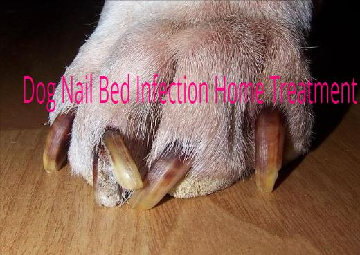 Dog Nail Bed Infection Home Treatment - Dogsforest com