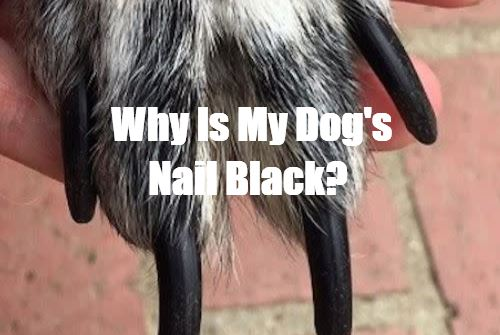 Why Is My Dog's Nail Black