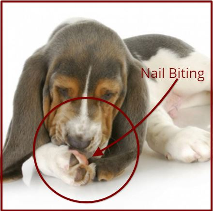 Dog Toe Nail Split Due to Claw Biting