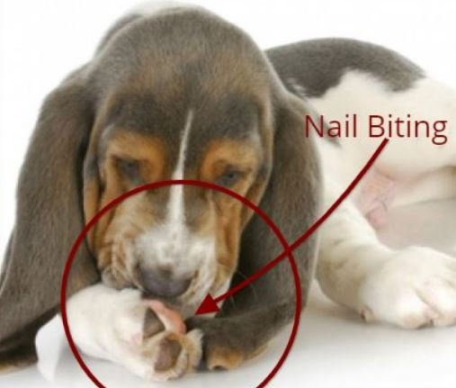 Dog Biting and pulling Nails causing bleeding