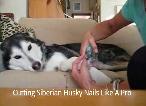 Cutting Siberian Husky Nails
