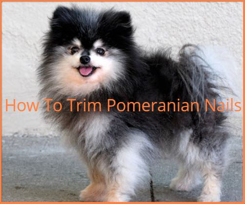 Trimming A Pomeranian Nails