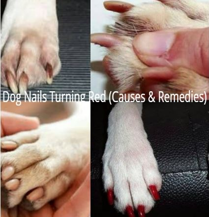 Dog Nails Turning Red