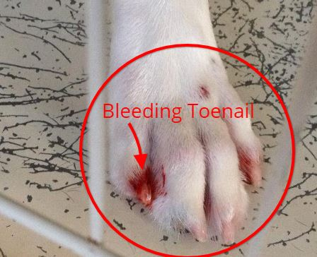 how to stop my dogs toe nail from bleeding