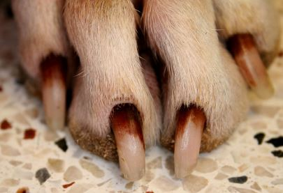 Dog Nail Turning Red Causes