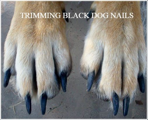 Cutting Black Dog Nails