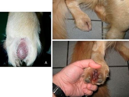 Nail Bed Cancer In Dogs