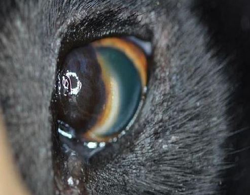 Limbal Eye Melanoma in Dogs