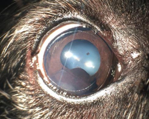 Uveal Eye Melanoma In Dogs